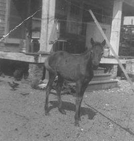 Resident pony, Thurston House, 1950s